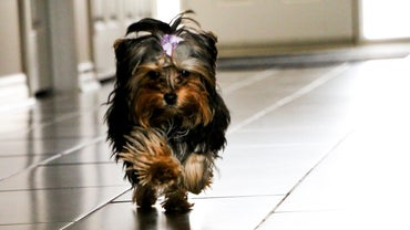 How Long Do Teacup Yorkies Live?