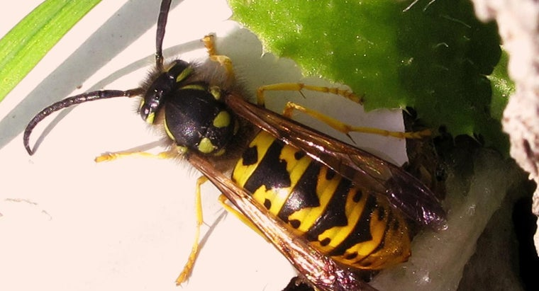 How Long Do Yellow Jackets Live?