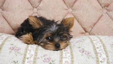 How Long Do Yorkshire Terriers Live?