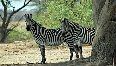 How Long Do Zebras Live?