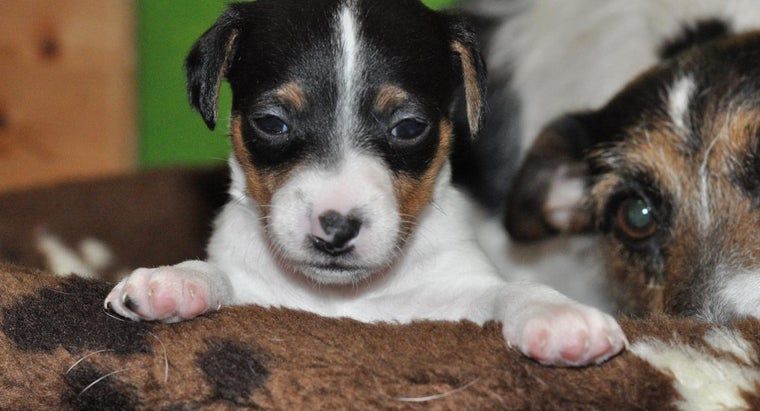 How Do You Look After Jack Russel Puppies?