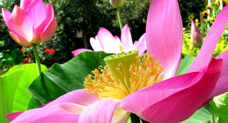What Is a Lotus Flower Blossom?