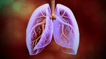 Where Are the Lungs Located in the Human Body?