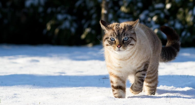 What Does a Lynx-Point Siamese Cat Look Like?