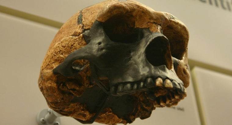 What Are the Main Differences Between Homo Erectus and Australopithecus?