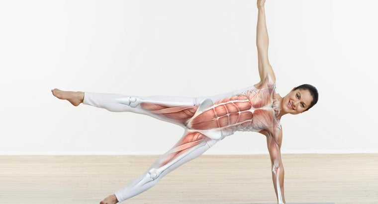 What Are the Major Muscles in the Body?