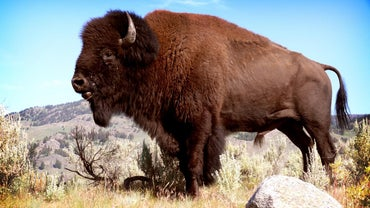 What Is a Male Buffalo Called?
