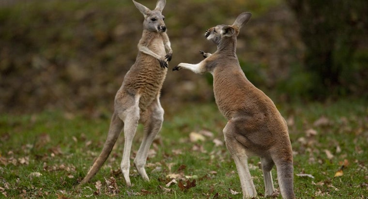 What Is a Male Kangaroo Called?
