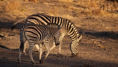 What Is a Male Zebra Called?