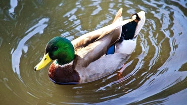 What Are a Mallard Duck's Enemies?