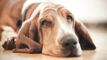 How Is Mange in Dogs Treated With Ivomec?