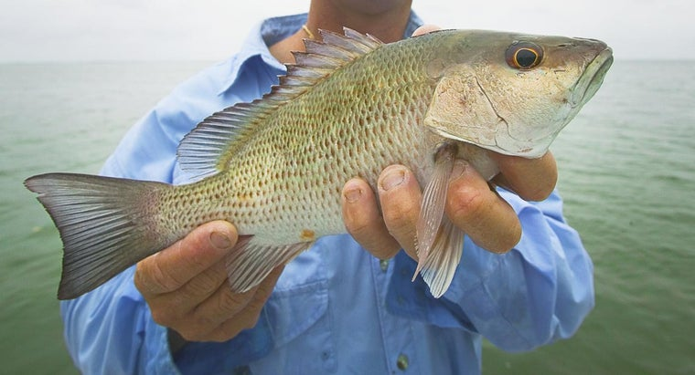 What Is a Mangrove Snapper?