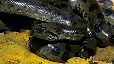 How Many Anacondas Are in the World?