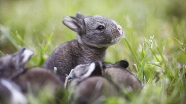 How Many Babies Do Rabbits Have in One Litter?