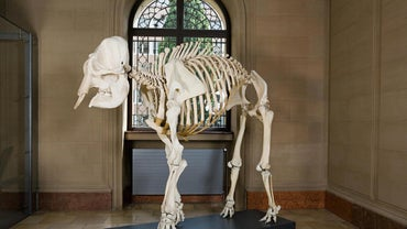 How Many Bones Are in an African Elephant Skeleton?