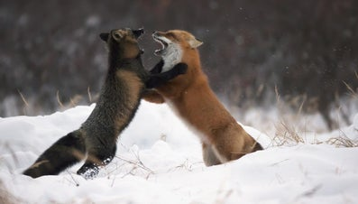 How Many Different Types of Foxes Are There?