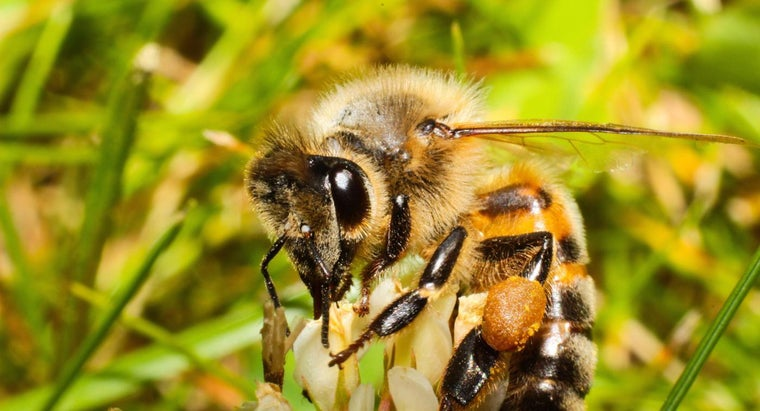 How Many Eyes Does a Bee Have?