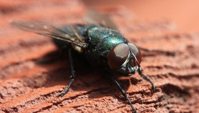 How Many Eyes Do Flies Have?