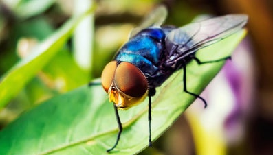 How Many Eyes Does a Fly Have?