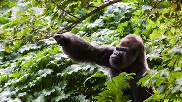 How Many Gorillas Are Left in the World?