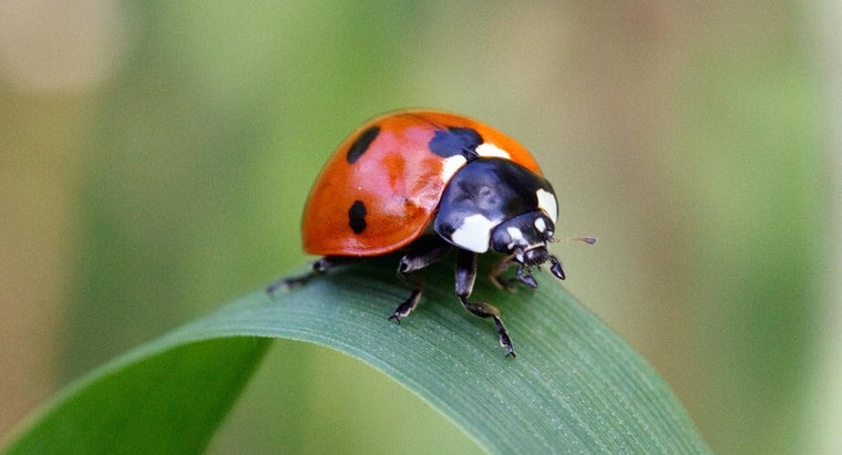 How Many Legs Does a Lady Bug Have?