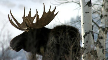 How Many People Are Killed by Moose Each Year?