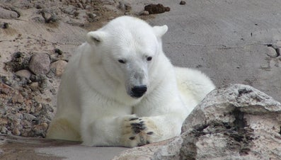 How Many Polar Bears Are Left in the World?