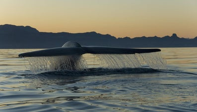 How Many Pounds Does a Baby Blue Whale Gain During Its First Day After Birth?