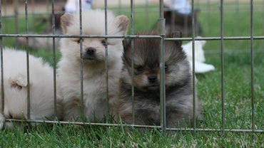 How Many Puppies Do Pomeranians Have in a Litter?