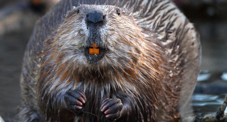 How Many Teeth Does a Beaver Have?