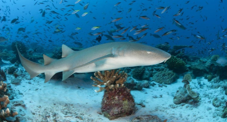 How Many Teeth Does a Nurse Shark Have?