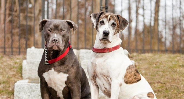 How Many Types of Pit Bulls Are There?