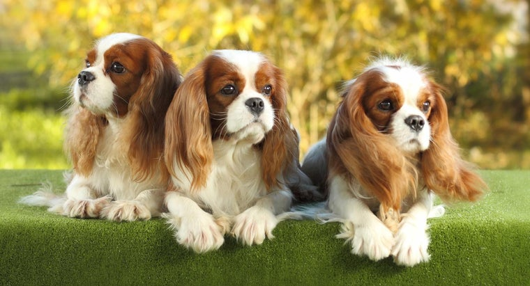 How Many Types of Spaniels Are There?