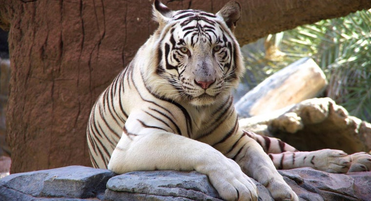 How Many White Tigers Are Left in the World?