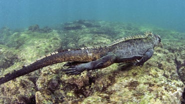 How Do Marine Iguanas Remove Salt From Their Bodies?