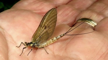 What Do Mayflies Eat?