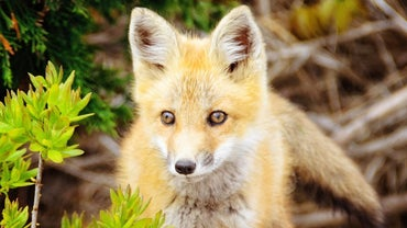 What Does It Mean When a Fox Crosses Your Path?
