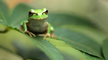What Is the Meaning of Frogs in a Dream?