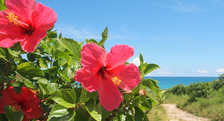 What Is The Meaning Of Hibiscus Flowers Referencecom