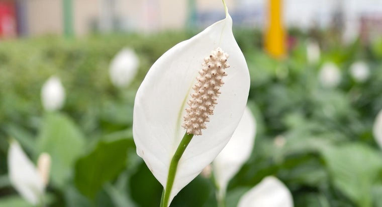 What Is the Meaning of the Peace Lily?