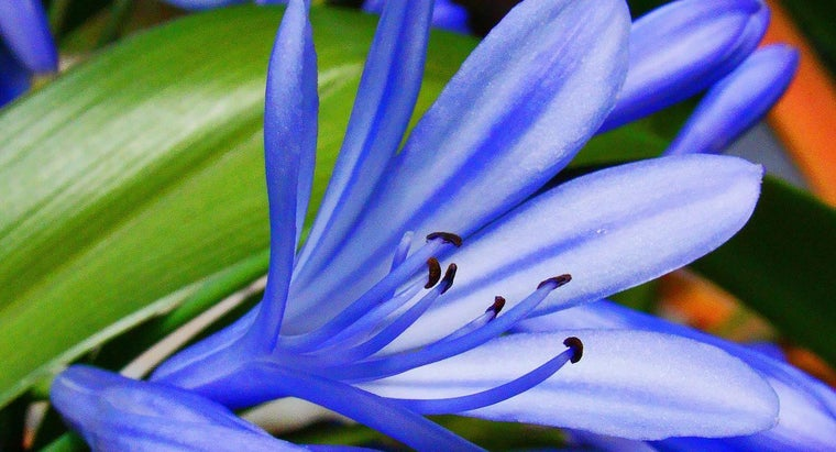 What Is a Midnight Blue Agapanthus?