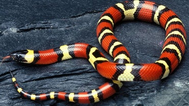 Are Milk Snakes Poisonous?