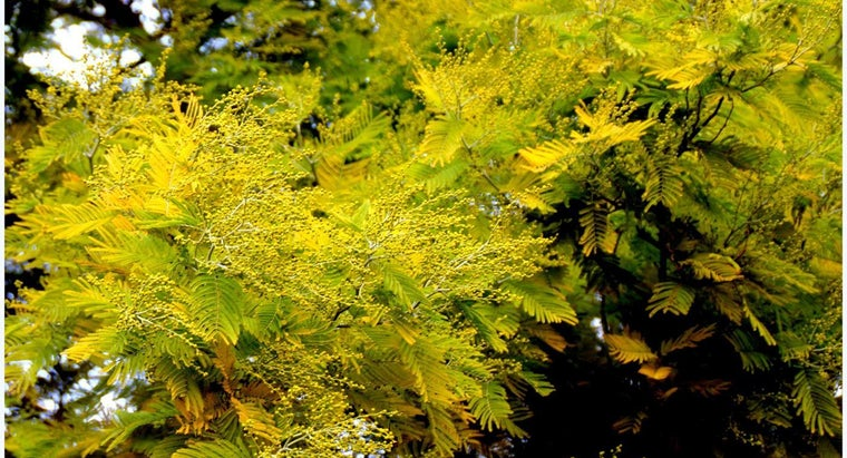 What Is the Mimosa's Family Tree?