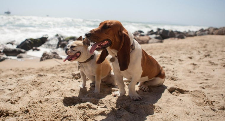 What Is a Mini Basset Hound?