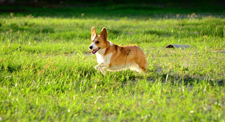 What Is a Mini Corgi?