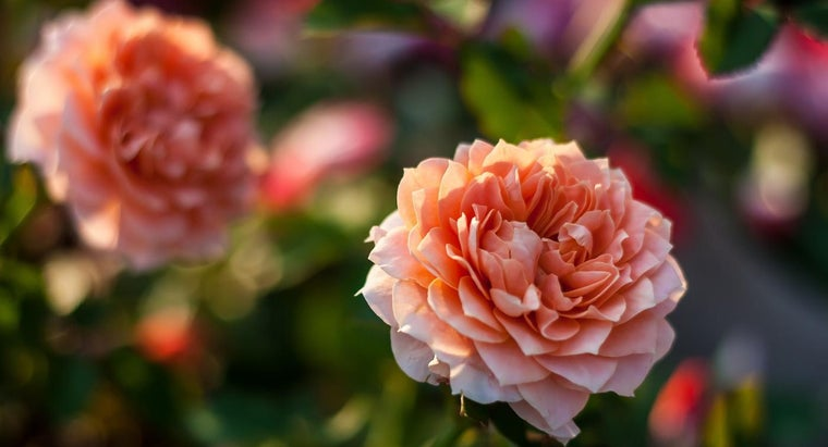 What Is a Mini Rose Plant?