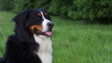 What Is a Miniature Bernese Mountain Dog?