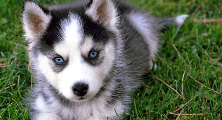 What Are Some Miniature Husky Rescue Groups?