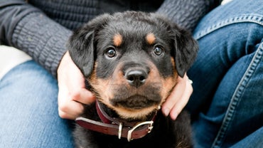Are There Miniature Rottweilers?