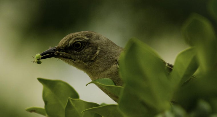 What Do Mockingbirds Eat?